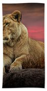 African Female Lion In The Grass At Sunset Beach Towel