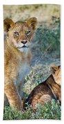 African Lion Panthera Leo Family Beach Towel