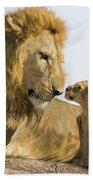 African Lion Panthera Leo Seven Beach Sheet