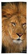 African Lion Panthera Leo Wildlife Rescue Beach Towel