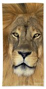 African Lion Portrait Wildlife Rescue Beach Towel