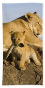 African Lion With Mother's Tail Beach Towel by Suzi Eszterhas