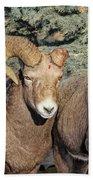 After The Rut Bighorn Sheep Beach Sheet
