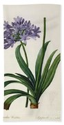 Agapanthus Umbrellatus Beach Towel by Pierre Redoute