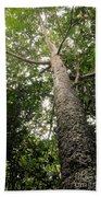 Agathis Borneensis Tree Beach Towel