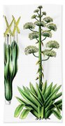 Agave Americana, Common Names Century Plant, Maguey Or American  Beach Towel