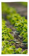 Agriculture- Soybeans 1 Beach Towel