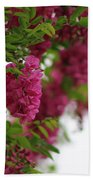 Amaranth Pink Flowering Locust Tree In Spring Rain Beach Towel