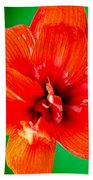 Amaryllis Contrast Orange Amaryllis Flower Appearing To Float Above A Deep Green Background Beach Towel