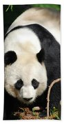 Amazing Sweet Chinese Giant Panda Bear Walking Around Beach Towel