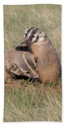 American Badger Cub Climbs On Its Mother Beach Towel