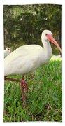 American White Ibis Birds In Orlando, Florida Beach Towel