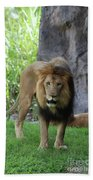 An Amazing Look At A Prowling Lion Standing In Grass Beach Towel