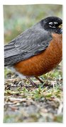 An American Robin With Muddy Beak Beach Towel