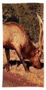 Animal - Elk -  An Elk Eating Beach Towel
