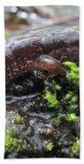 Appalachian Seal Salamander Beach Towel