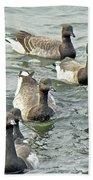 Atlantic Brant Geese - Branta Bernicla Hrota Beach Towel