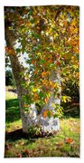 Autumn Sycamore Tree Beach Towel