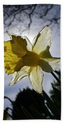 Backlit Daffodil Beach Towel