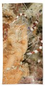 Banded Coral Shrimp Beach Towel