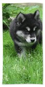 Beautiful Alusky Puppy Dog Walking Through Thick Green Grass Beach Towel