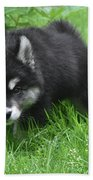 Beautiful Face Of A Black And White Alusky Puppy Beach Towel