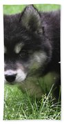 Beautiful Furry Black And White Alusky Only Two Months Old  Beach Towel