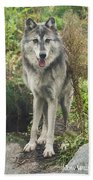 Beautiful Gray Wolf Beach Towel