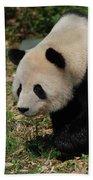 Beautiful Profile Of A Giant Panda Bear Ambling Along Beach Towel