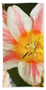 Beautiful Tulip With A Yellow Center And Pink Striped Petals Beach Towel