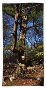 Beech Trees Coming Into Leaf  In Spring Padley Wood Padley Gorge Grindleford Derbyshire England Beach Towel