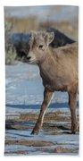 Bighorn Lamb 2 Beach Towel