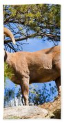 Bighorn Sheep In The San Isabel National Forest Beach Towel