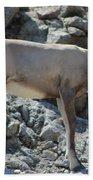 Bighorn Sheep Lamb Beach Towel