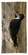 Black-backed Woodpecker Beach Towel
