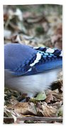Blue Jay With A Full Mouth Beach Towel