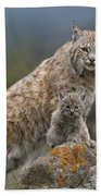 Bobcat Mother And Kittens North America Beach Towel