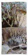 Bobcat Resting Beach Towel