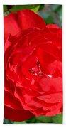 Bright Red Rose At Pilgrim Place In Claremont-california  Beach Towel
