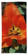 Brilliant Orange Tulip Flower Blossom Blooming In Spring Beach Towel