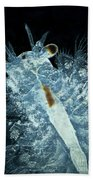 Brine Shrimp Artemia Salina Beach Towel