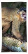 Brown Capuchin Monkey Cebus Apella Beach Towel