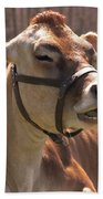 Brown Cow Chewing Beach Towel