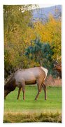 Bull Elk  Bugling With Cow Elks - Rutting Season Beach Sheet