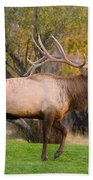 Bull Elk In Rutting Season Beach Towel
