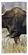 Bull Moose Crossing The Sage  Beach Towel