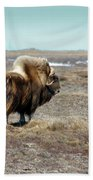 Bull Musk Ox Beach Towel