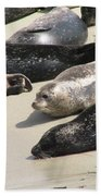Bunch Of Harbor Seals Resting On A Beach Beach Towel