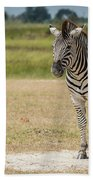 Burchell's Zebra On Grassy Plain Facing Camera Beach Towel