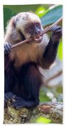 Capuchin Monkey Chewing On A Stick Beach Towel